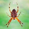 Arachnid by Chirila Corina