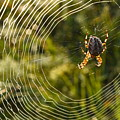 Araneus Morning by Peter Pier