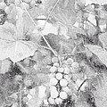 Arbor Grapes Sketch by Theresa Campbell