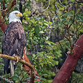 Arbutus Eagle by Randy Hall