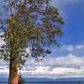 Arbutus Tree At Rathtrevor Beach British Columbia by Louise Heusinkveld