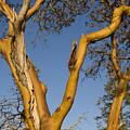 Arbutus Tree At Roesland by Kevin Oke