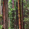 Arcata Forest by Art Wager