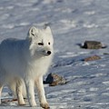 Arctic Fox by Dorothy Binder