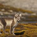 Arctic Fox In Tundra by Jenny Hibbert
