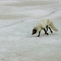 Arctic Fox On Ice by Anthony Jones