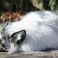 Arctic Fox by Ronald Reid