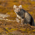 Arctic Fox Striding Out by Jenny Hibbert