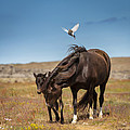 Arctic Tern Attacking Mare by Panoramic Images