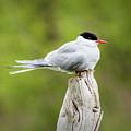 Arctic Tern by Edie Ann Mendenhall