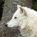 Arctic Wolf - On Watch by Sandra Bronstein