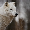 Arctic Wolf Pictures 1242 by World Wildlife Photography