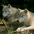 Arctic Wolf Pictures 1268 by World Wildlife Photography