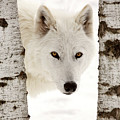 Arctic Wolf Seen Between Two Trees In Winter by Mark Duffy