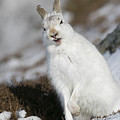 Are You Kidding? - Mountain Hare #14 by Karen Van Der Zijden