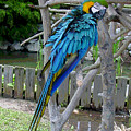 Arent I A Handsome Fellow - Blue And Gold Macaw by Suzanne Gaff