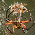 Argiope Spider Wrapping A Hornet by Jerry Fornarotto