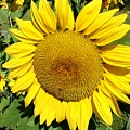 Arikara Sunflower by Karen Sloan