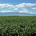 Arizona Cotton Field by Methune Hively