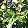Arizona Cotton by Methune Hively