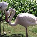 Arizona Flamingos by Lorraine Baum