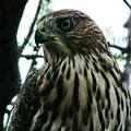 Arizona Hawk by Wayne Toutaint