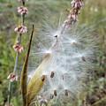 Arizona Milkweed by Jim Thomas