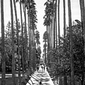 Arizona State University Palm Walk by University Icons