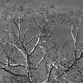 Arizona Sycamore Tree Filtered 022714 by Edward Dobosh