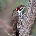 Arizona Woodpecker by Ron D Johnson