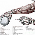 Arm, Anatomy, Salvage Illustration, 1812 by Wellcome Images