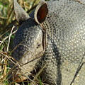 Armadillo By Morning by Robert Frederick