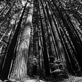 Armstrong National Park Redwoods Filtered Sun Black And White by Toby McGuire
