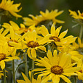Arrowleaf Balsamroot Bouquet by Whispering Peaks Photography