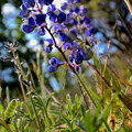 Arroyo Lupine Four by Nicholas Miller