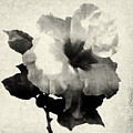 Art Is The Hibiscus -black And White by Stacey Chiew