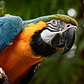 Art Macaw by Cameron Wood