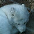 Artic Fox by Thomas Jackson