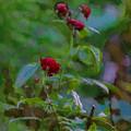 Artistic Last Rose by Leif Sohlman