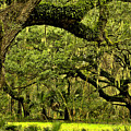 Artistic Live Oaks by Phill Doherty
