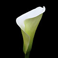 Arum Lily by Julian Perry