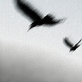 As The Crow Fly by Linda Shafer