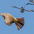 Ash-throated Flycatcher Flight by Morris Finkelstein
