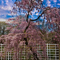 Asian Cherry In Blossom by Chris Lord