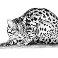 Asian Leopard Cat by Dan Pearce