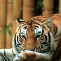 Asian Tiger 5 by Randy Matthews