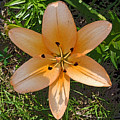 Asiatic Lily With Poster Edges by Marian Bell