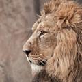 Male Lion  by Natasha Balletta