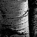 Aspen Abstract by The Forests Edge Photography - Diane Sandoval