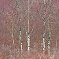 Aspen And Buckbrush by Darrel Giesbrecht